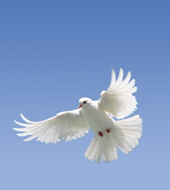 White Dove on blue
