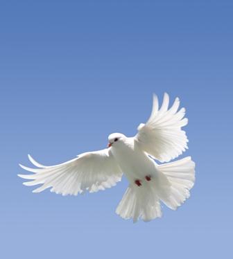 White Dove on blue