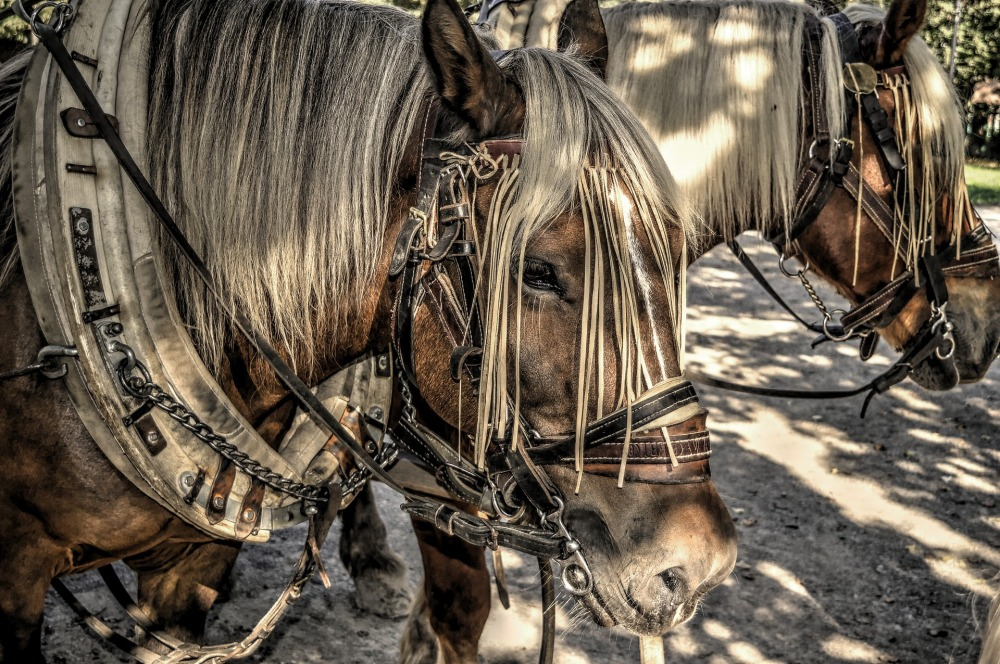 horses-2786346_1920