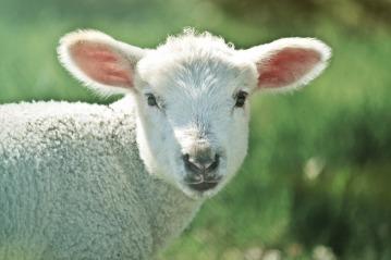lamb-739165_1920